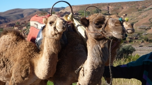 Camels near Kasbah Angour