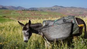 Donkey near Kasbah Angour