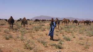Camel herd in South of Morocco
